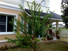 House for sale/rent in Chiang rai: 3 Bedrooms, 96 Tarangwa, Rop Wiang.