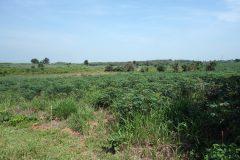Land for sale in Chiang rai: 10+Rai, 5 Mil, Nongluang, Chiangrai.