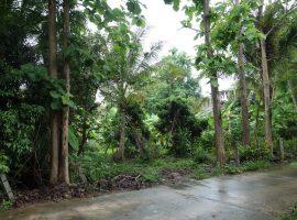 Land for sale in Chiang rai: 345 Tarangwa, 2,800,000 Baht, Pa Bong, Ropwiang, Chiangrai.